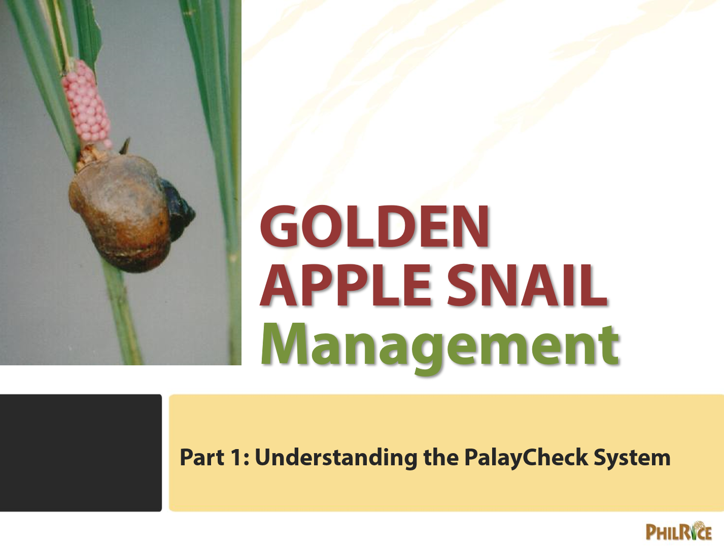golden-apple-snail management