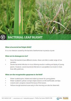 bacterial-leaf-blight