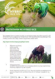 pagtatanim ng hybrid rice