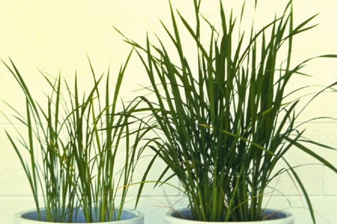 (Left) S-deficient rice plant.