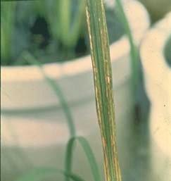 Zn-deficient rice plant.